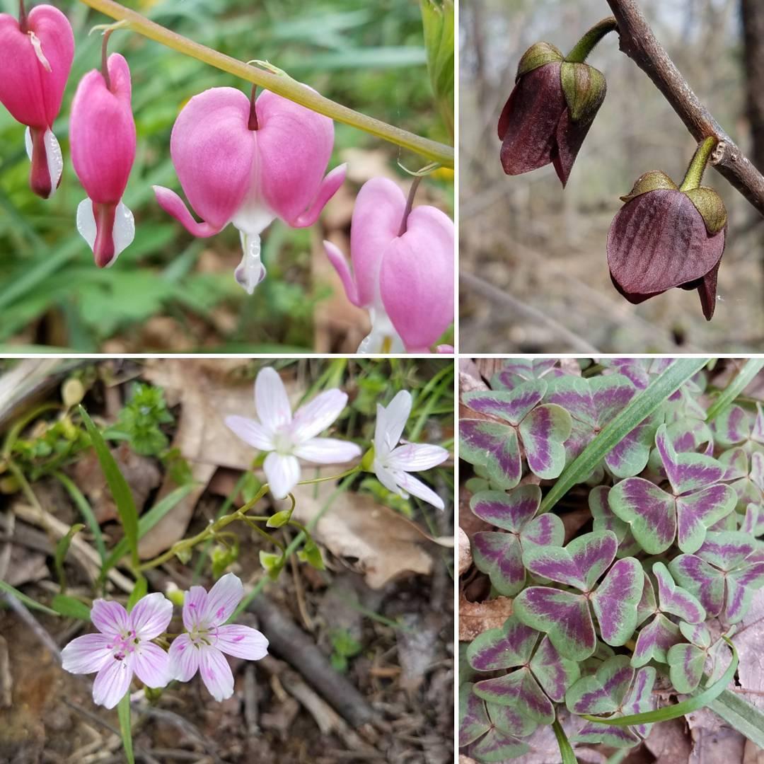 Lots of things blooming in the woods behind my folkshellip